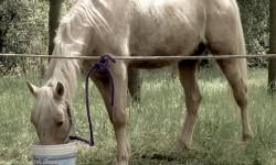 Cavallo che mangia da un bidone di plastica